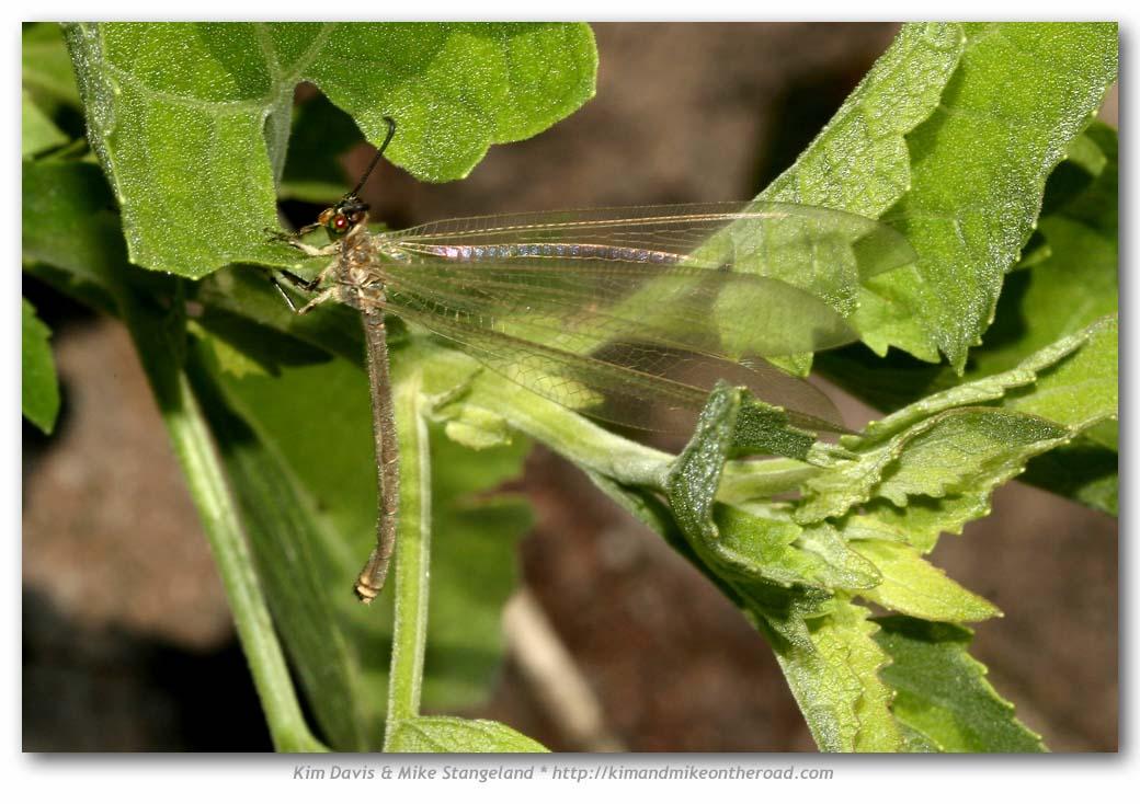 Bộ sưu tập côn trùng 2 - Page 26 Myrmeleon_mexicanus-Antlion-USA_Arizona_Cochise_Co._Sierra_Vista_08-03-05_029